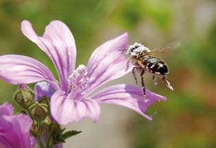 Abeille sur fleur de Mauve sylvestre, en Creuse